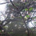 十月桜が咲いていました!