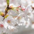 桜の写真 sak0112-121